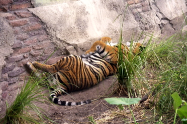 [08-tiger-sleep.jpg]